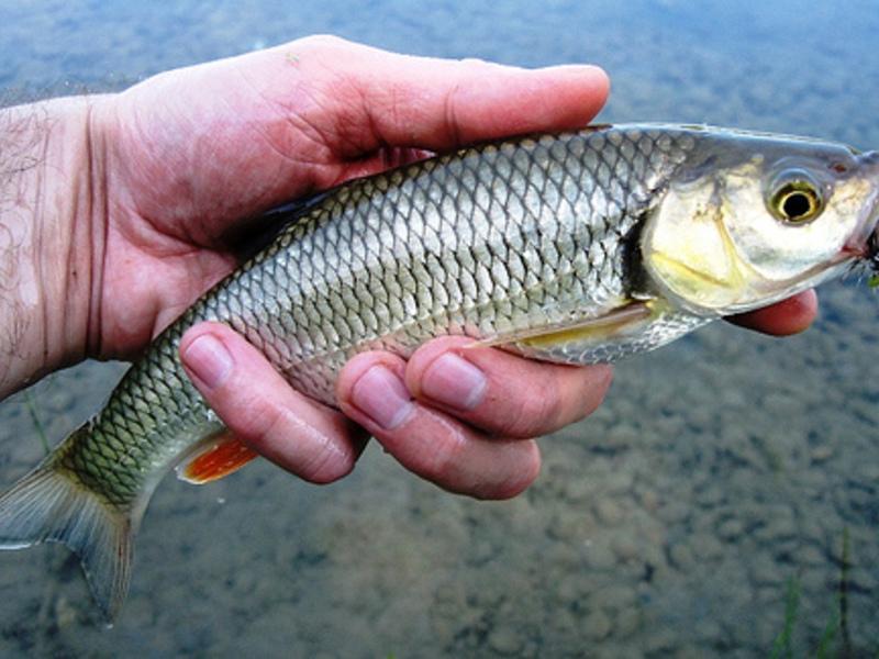 Рецепт рыба голавль
