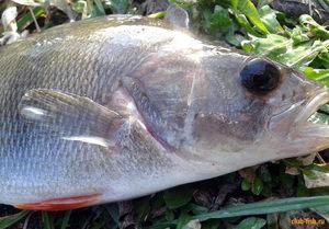 Аттрактант для удачной рыбалки
