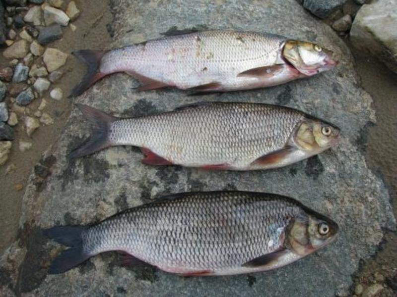 рыба усач на что клюет
