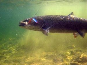 чем питается рыба толстолобик