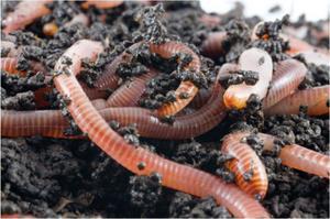 Технология выращивания червей в домашних условиях не требует особых знаний