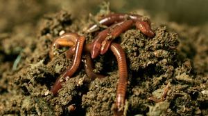 Правила разведения червей