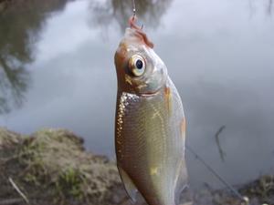 Рыба судак: образ жизни и особенности нереста