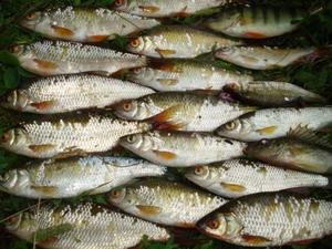 сорога фото рыба