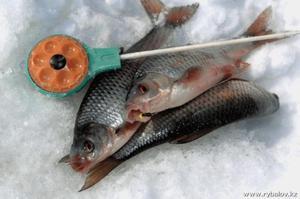 сорога фото рыбы