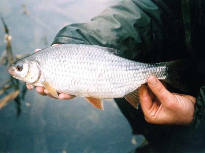 Рыба сорога картинки