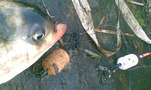 планктон для ловли толстолобика своими руками видео