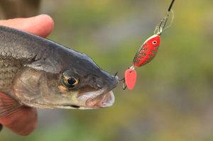 У любой рыбы есть свой закуток, ловля хариуса на спиннинг