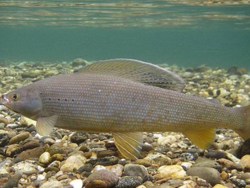 хариус фото рыба