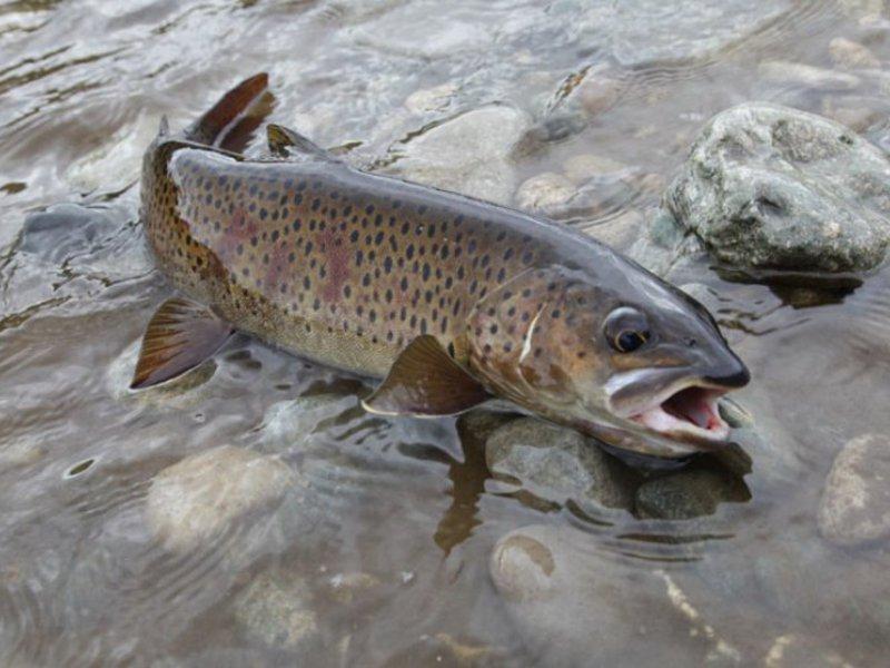 рыбы ленок фото
