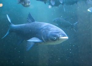 Толстолобик питается исключительно планктоном