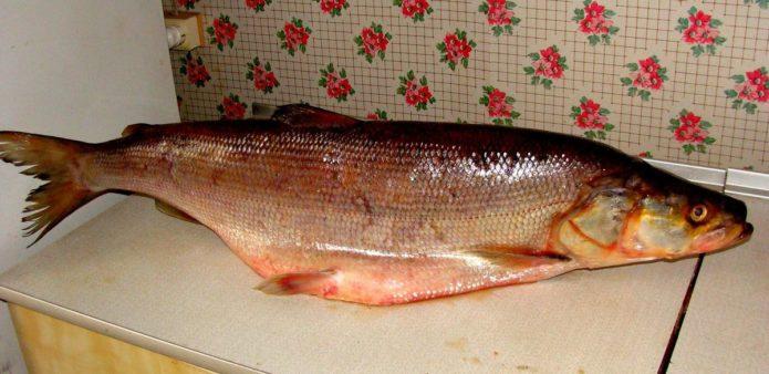 рыба лосось