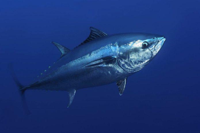 Тихоокеанский голубой тунец — самая дорогая в мире рыба для еды